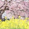 2017年2月23日(木)早春の河津桜と富士山 美しい日本の旅 3日間