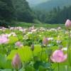 【中止】8月11日(木) 尾花沢ハス祭・銀山温泉♨︎ 棚田ぼんぼり祭り