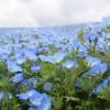 保護中: 参加者専用【おもいで写真室】2016.4.21 空と海とネモフィラ青のハーモニー