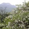 ゴヨウツツジの真っ白さ 雨のち『真っ青な空』 (5月27日)