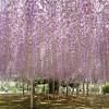 【満席御礼】5月2日(日) 奇跡の 大藤 あしかがフラワーパーク &東武トレジャーガーデン
